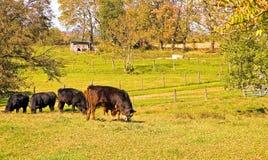 Mucche che pascono nel pascolo fotografia stock