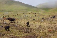 Mucche che pascono nel pascolo Fotografia Stock Libera da Diritti