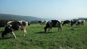 Mucche che pascono nel prato della montagna stock footage