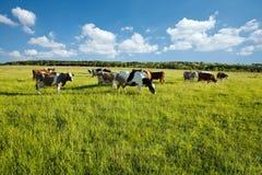 Mucche che pascono nel prato verde Fotografia Stock