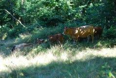 Mucche che pascono nella natura immagini stock