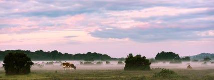 Mucche che pascono nella nebbia Immagine Stock