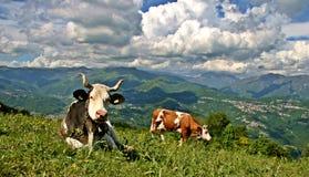 Mucche che pascono nella terra delle alpi Fotografia Stock Libera da Diritti