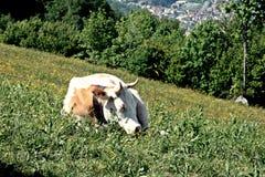 Mucche che pascono nella terra delle alpi Immagini Stock Libere da Diritti