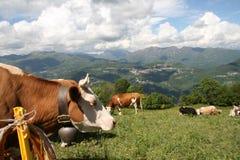 Mucche che pascono nella terra delle alpi Fotografia Stock