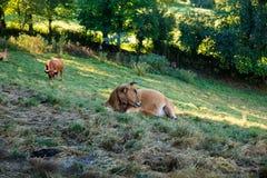 Mucche che pascono nella valle spagnola Immagini Stock Libere da Diritti