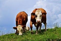 Mucche che pascono nelle alpi Fotografie Stock