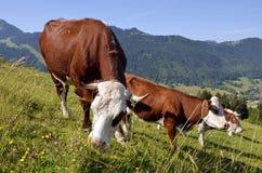 Mucche che pascono nelle alpi francesi Fotografie Stock Libere da Diritti