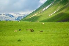 Mucche che pascono nelle montagne Immagini Stock