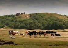 Mucche che pascono sotto il castello di Pennard Fotografie Stock