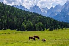 Mucche che pascono su un campo Fotografie Stock