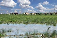 Mucche che pascono su un campo dell'azienda agricola con cielo blu e le nuvole Fotografia Stock