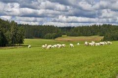 Mucche che pascono su un campo verde, Norvegia Fotografie Stock