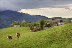 Mucche che pascono su un prato alpino immagine stock