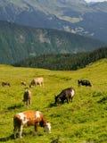 Mucche che pascono su un prato alpino verde Fotografia Stock