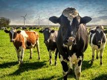 Mucche che pascono su un prato fertile verde Immagine Stock Libera da Diritti