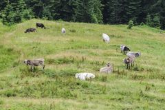 Mucche che pascono su un prato nelle alpi tirolesi Immagine Stock Libera da Diritti