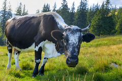 Mucche che pascono su un prato verde Immagine Stock Libera da Diritti