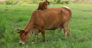 Mucche che pascono su un prato verde stock footage