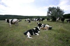 Mucche che pascono su un terreno coltivabile Fotografia Stock Libera da Diritti
