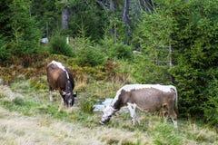 Mucche che pascono sui pendii delle montagne carpatiche Immagine Stock Libera da Diritti
