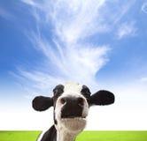 Mucche che pascono sul campo verde Immagine Stock Libera da Diritti