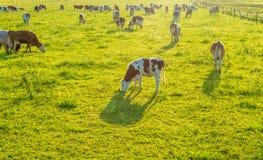 Mucche che pascono sul pascolo immagine stock libera da diritti