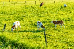 Mucche che pascono sul pascolo fotografia stock libera da diritti