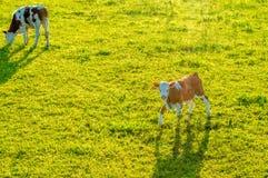 Mucche che pascono sul pascolo fotografia stock
