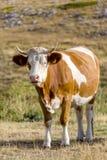 Mucche che pascono sul plateau del campo Imperatore nell'Abruzzo Fotografia Stock