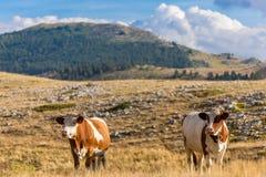 Mucche che pascono sul plateau del campo Imperatore nell'Abruzzo Immagini Stock Libere da Diritti
