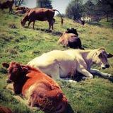 Mucche che pascono sul plateau vicino alle alpi italiane con l'annata e Fotografia Stock Libera da Diritti