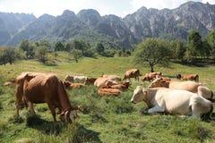 mucche che pascono sul plateau vicino alle alpi italiane di estate Fotografie Stock