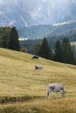 Mucche che pascono sul prato alpino Fotografia Stock