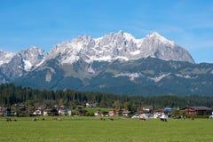Mucche che pascono sul prato alpino con le montagne delle alpi nei precedenti, Austria Villaggio austriaco tipico fotografia stock