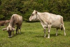Mucche che pascono sul prato fotografia stock libera da diritti
