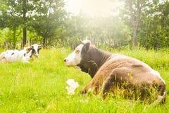 Mucche che pascono sul prato verde con il sole brillante luminoso nella sera Foto di riserva disegnata con paesaggio rurale in Ro immagine stock