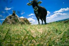 Mucche che pascono sulla collina Fotografia Stock