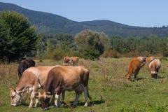 Mucche che pascono sulla montagna Fotografia Stock Libera da Diritti