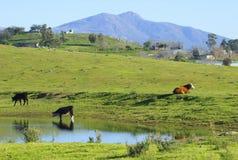Mucche che pascono sulle colline della montagna con una libbra Fotografia Stock