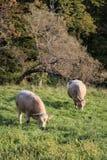 Mucche che pascono in un campo Fotografia Stock Libera da Diritti