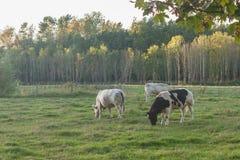 Mucche che pascono in un campo fertile fotografie stock libere da diritti