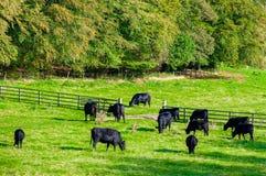 Mucche che pascono in un campo verde fresco Fotografia Stock