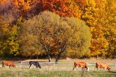 Mucche che pascono in un pascolo del terreno coltivabile di autunno Fotografie Stock