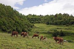 Mucche che pascono in un prato Fotografie Stock Libere da Diritti