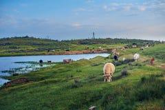 Mucche che pascono in un prato del pascolo di Estremadura con un lago nei precedenti immagini stock libere da diritti