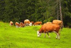 Mucche che pascono in un prato della montagna, Carpathians, Romania Immagini Stock