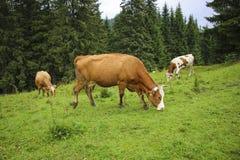 Mucche che pascono in un prato nei Carpathians, ROM della montagna di estate immagini stock
