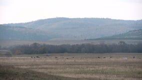 Mucche che pascono in un prato nelle montagne stock footage