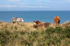 Mucche che pascono vicino al mare immagine stock